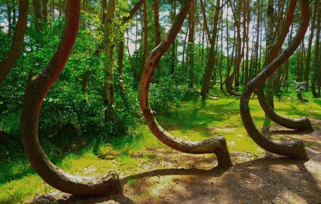 foresta in polonia con alberi curvi