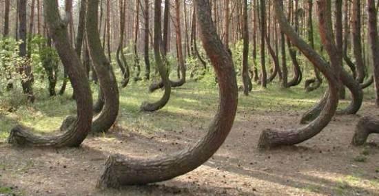 POLONIA IL MISTERO DELLA VALLE DEGLI ALBERI CURVI  polonia la foresta dagli alberi curvi